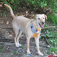 Labrador Retriever Dog for adoption in House Springs, Missouri - Malarkey