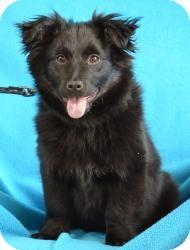 Border Collie/Corgi Mix Dog for adoption in Minneapolis, Minnesota - Bentley
