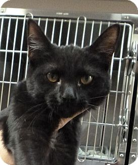 Domestic Shorthair Kitten for adoption in St. Petersburg, Florida - Squirt