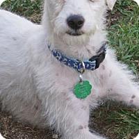 Adopt A Pet :: Sweetie - La Habra Heights, CA