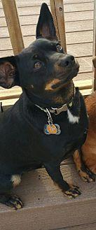 Dachshund Mix Dog for adoption in Sunset, Louisiana - Jack and Lokey