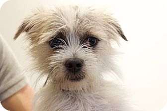 Lhasa Apso Mix Puppy for adoption in Studio City, California - Gizmo