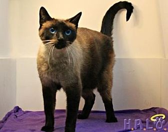 Siamese Cat for adoption in Sebastian, Florida - Sushi