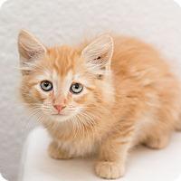 Adopt A Pet :: Clack - Fountain Hills, AZ
