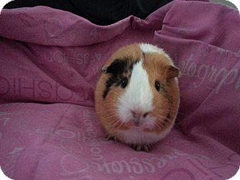 Guinea Pig for adoption in Harleysville, Pennsylvania - Millie