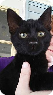 Domestic Shorthair Kitten for adoption in Clarkson, Kentucky - Rigby