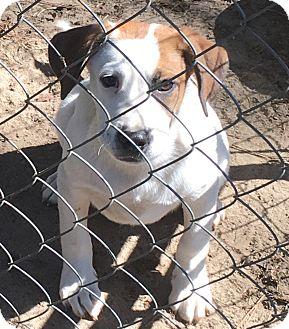 Hound (Unknown Type)/Boxer Mix Puppy for adoption in Garner, North Carolina - Peter