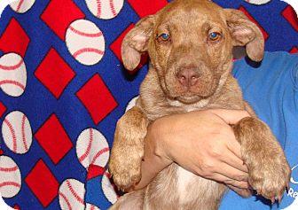 Plott Hound/Labrador Retriever Mix Puppy for adoption in Oviedo, Florida - Valentino