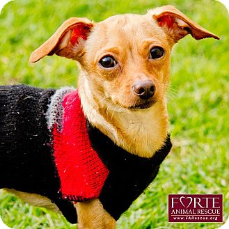 Chihuahua Mix Dog for adoption in Marina del Rey, California - Dancer
