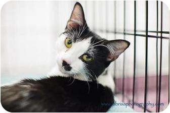 Domestic Shorthair Cat for adoption in Houston, Texas - Trudy