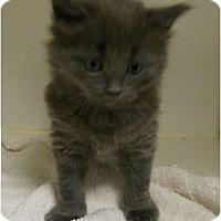 Adopt A Pet :: CreamPuff - Maywood, NJ