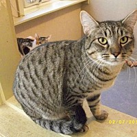 Domestic Shorthair Cat for adoption in Live Oak, Florida - Carlisle