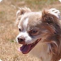 Adopt A Pet :: Sabrina - Tumwater, WA