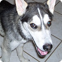 Siberian Husky Dog for adoption in Cedar Crest, New Mexico - Nelson