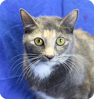 Domestic Shorthair Cat for adoption in Winston-Salem, North Carolina - Jolie