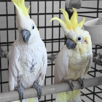Cockatoo for adoption in Villa Park, Illinois - No Names