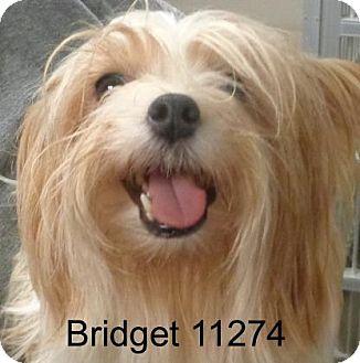 Silky Terrier Dog for adoption in Greencastle, North Carolina - Bridget