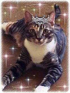 Domestic Shorthair Cat for adoption in Scottsdale, Arizona - Hope