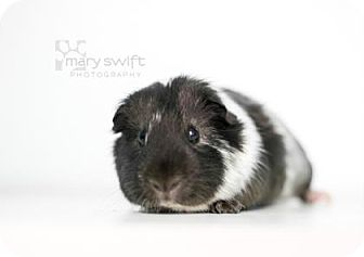 Guinea Pig for adoption in Reisterstown, Maryland - Palmetto