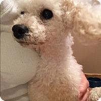 Adopt A Pet :: Amigo - Bernardston, MA