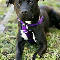 Adopt A Pet :: Mamba - Troutville, VA