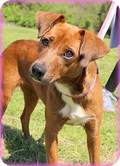 Boxer/Beagle Mix Dog for adoption in Glastonbury, Connecticut - April~30 lbs ~ meet me!