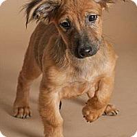 Adopt A Pet :: Chop Suey - Phoenix, AZ