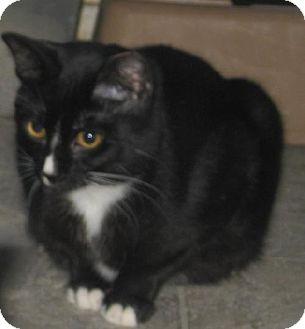 Domestic Shorthair Cat for adoption in Coos Bay, Oregon - Scarlett