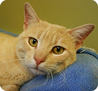 Domestic Shorthair Cat for adoption in Hastings, Nebraska - Mr. Pibb