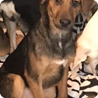 Adopt A Pet :: Scout SC - Pompton Lakes, NJ