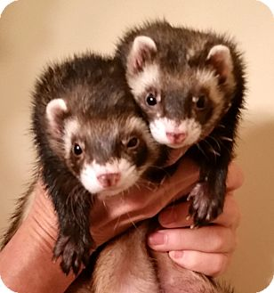 Ferret for adoption in Brandy Station, Virginia - GIDGET & GANDI