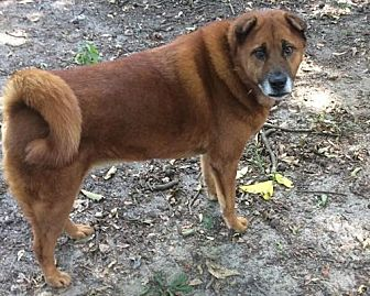 Shar Pei/Chow Chow Mix Dog for adoption in Bath, Maine - Mongoose