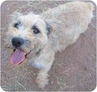 Schnauzer (Miniature) Dog for adoption in Mesa, Arizona - Mikey