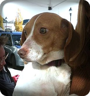 Fox Terrier (Toy)/Beagle Mix Dog for adoption in Lincolnton, North Carolina - Ellie