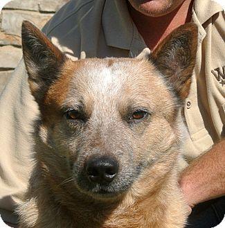 Australian Cattle Dog Mix Dog for adoption in white settlment, Texas - Ranger