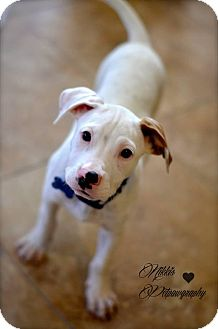 Pit Bull Terrier Mix Puppy for adoption in Gilbert, Arizona - Cooper