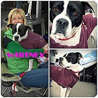 Adopt A Pet :: Whitney - Toledo, OH