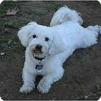 Adopt A Pet :: Cruz - chandler, AZ