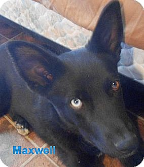 Australian Kelpie Mix Dog for adoption in Arenas Valley, New Mexico - Maxwell