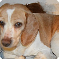 Adopt A Pet :: Biscuit - Prole, IA
