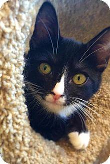Domestic Shorthair Kitten for adoption in Corona, California - LUNA