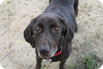 Labrador Retriever Dog for adoption in Shreveport, Louisiana - Bells