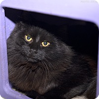 Domestic Shorthair Cat for adoption in Medina, Ohio - Hansel