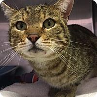 Adopt A Pet :: Lynx - Goshen, NY