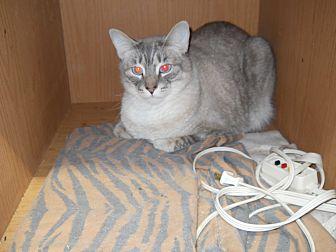 Siamese Cat for adoption in Charlotte, North Carolina - Thor