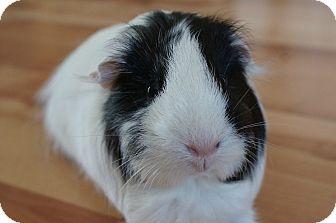 Guinea Pig for adoption in Brooklyn Park, Minnesota - MooMoo