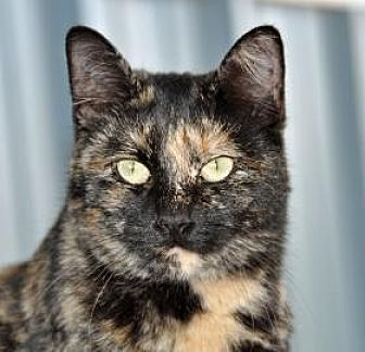 Domestic Mediumhair Cat for adoption in Alamogordo, New Mexico - FORTUNE