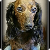 Adopt A Pet :: Holly - Indian Trail, NC