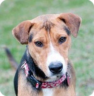 Foxhound/Hound (Unknown Type) Mix Dog for adoption in Rockport, Texas - Lexi