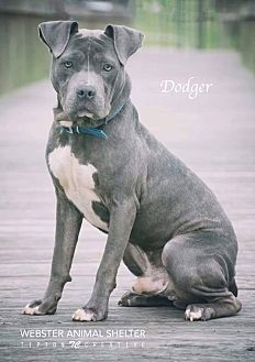 Pit Bull Terrier Mix Dog for adoption in Webster, Texas - Dodger